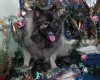 Keeshond, kennel Re-Jan Moravia, Grey