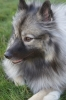 Keeshond, 2, grey mix