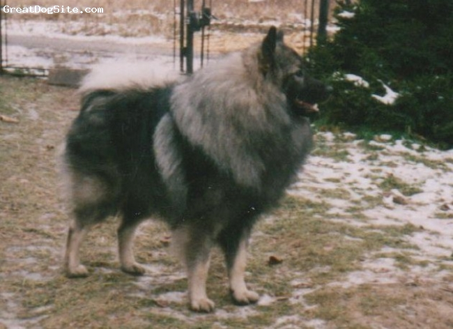 Keeshond, male, Grey,
