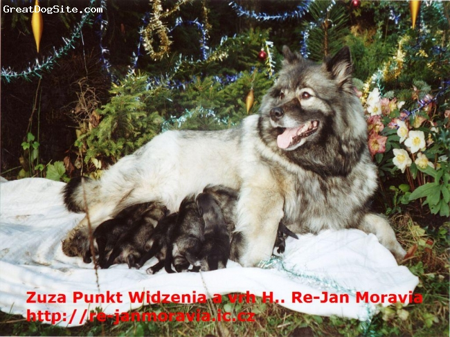 Keeshond, female and puppies, Grey,