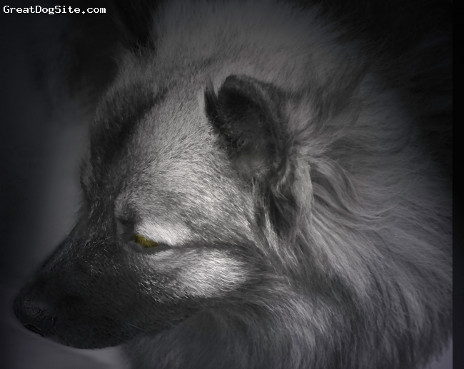 Keeshond, 16 months, Gray, My first Kee's and not my last..He has inspired me to take up Dog Photography....They are just as beautiful inside as they are outside.