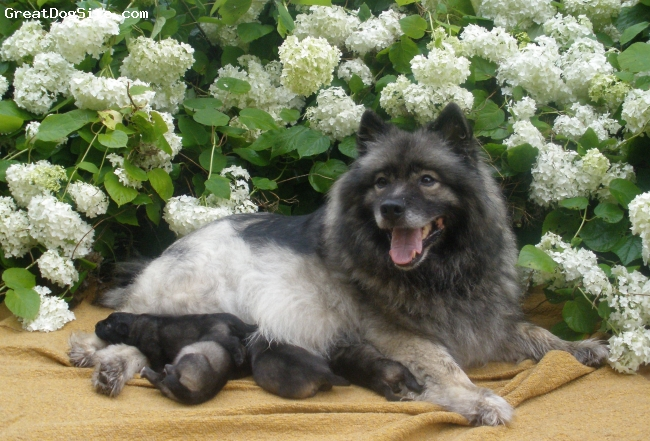 Keeshond, 7, grey, Kennel Re-Jan Moravia