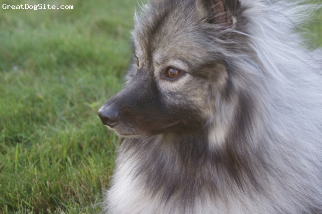 Keeshond, 2, grey mix, Meika is our beautiful 2 year old Keeshond. Life just wouldn't be the same without our sweet girl. She is the perfect dog for our familly and joins us on outings and camping trips.