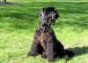 Kerry Blue Terrier, 3, black
