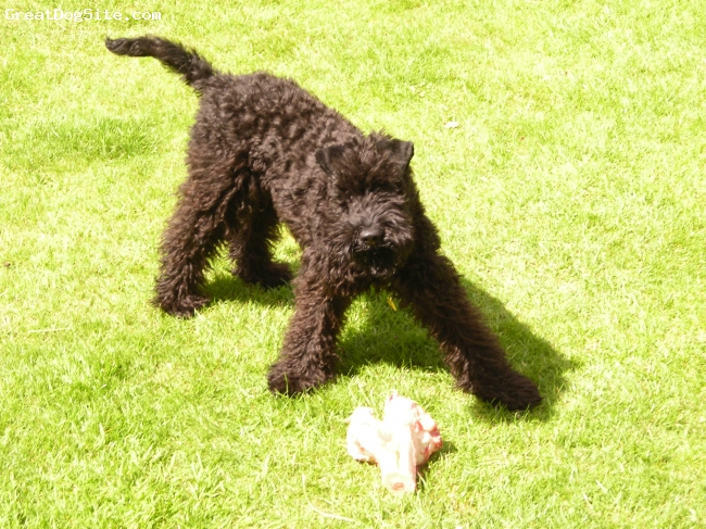 Kerry Blue Terrier, 6 months, Black, First proper bone
