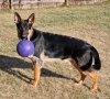King Shepherd, 8 months, Black/Red