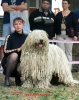 Komondor, 6, white