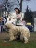 Komondor, 3, white