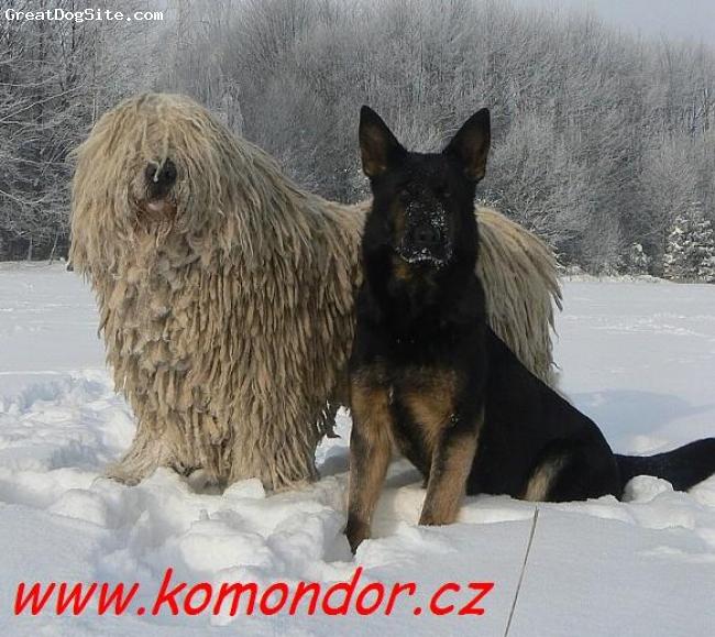 Komondor, 3, white, Achills son