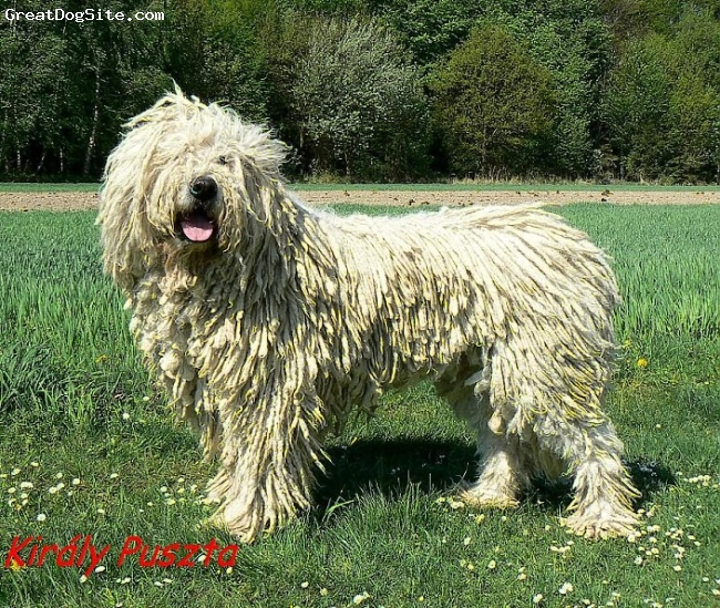 Komondor, 4, white, Achills son