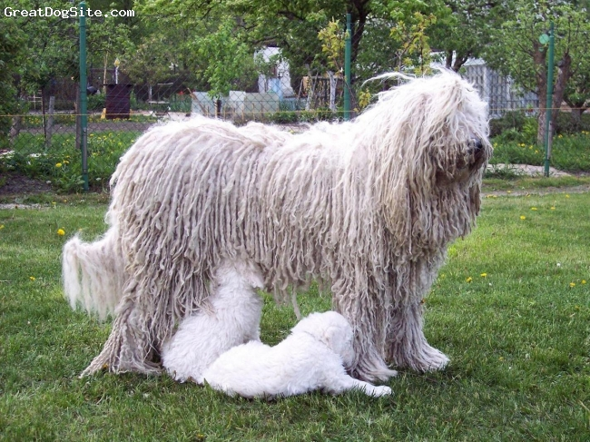 Komondor, 6, white, our lovely girl and the best mother in Fehér Kócos komondor kennel