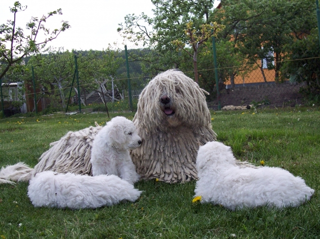 Komondor, 4, white, Very good aunt for Vatta´s puppies