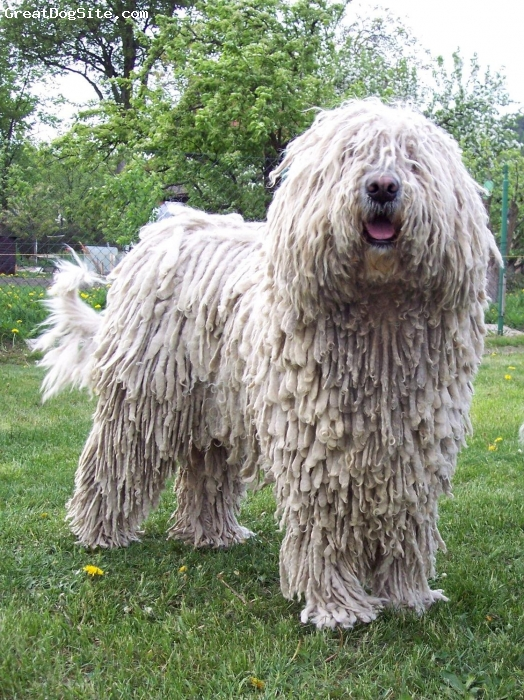 Komondor, 4, white, Alma´s father is Achill Varpus and her brother is Avar Király Puszta