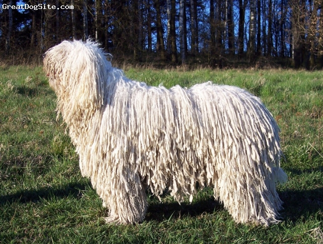 Komondor, 6, white, Vatta in exhibition condition at 2007 - she was 4 years old there