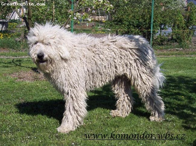 Komondor, 15 months, white, Bojtár iis very nice and lovely boy
