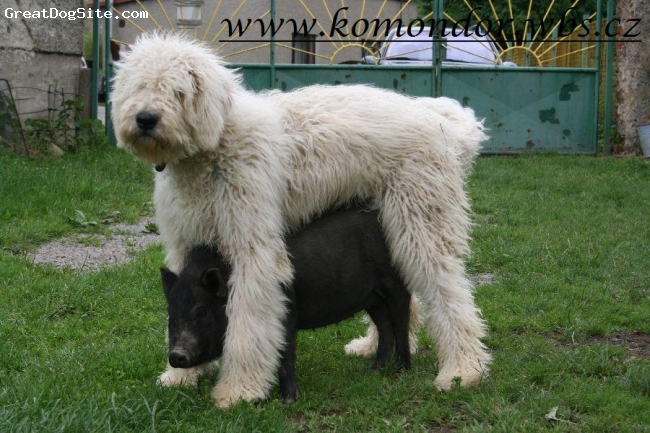 Komondor, 6 months, white, young pastoral boy and his piggy Pepina :-)