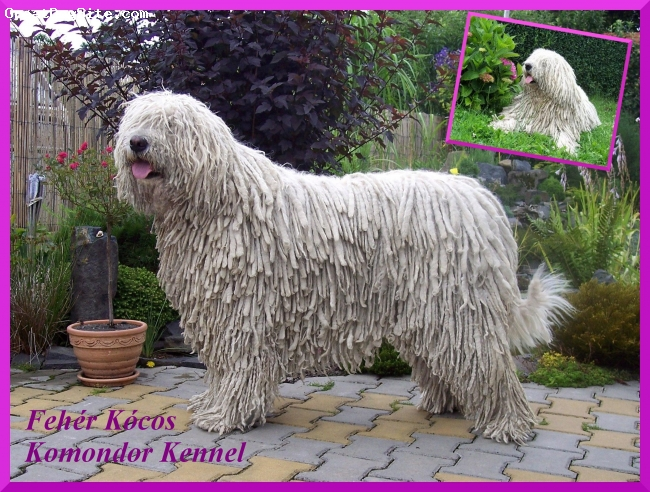 Komondor, 4, white, Hello, I´m Alma Király Puszta. I live with my family, dogs and horses. I visit dogshow anytime, but I prefer keep our house, I´m very good guard, I like playing with my friends. I´m healthy - I have all eye tests and DH 0. I will have first puppies now :-) I live in Czech with other dogs in Fehér Kócos kennel but father my puppies is from Hungary. My pictures are on