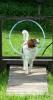 Kooikerhondje, 1 year, tricolor