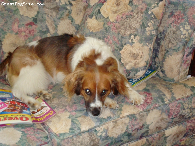 Kooikerhondje, 4 yrs, tri - white brown black, smart - great nature - rescued from the local shelter.  She is the greatest dog - would love to find her a brother.  She needs a playmate