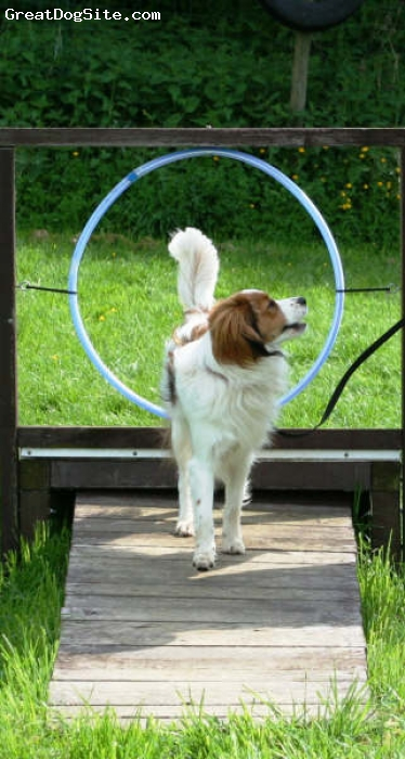 Kooikerhondje, 1 year, tricolor, Great earrings.  Great personality.  Great athleticism for a smaller dog.