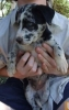 Koolie, 5 months, Blue Merle
