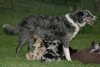 Koolie, 8 Y & 6 weeks, Blue Merle & Red Merle