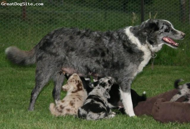 Koolie, 8 Y & 6 weeks, Blue Merle & Red Merle, Sassy with a litter of 10.