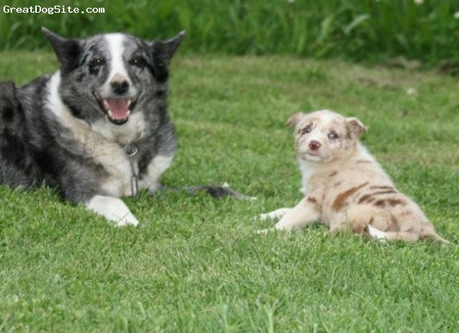 Koolie, 8 Y & 6 weeks, Blue Merle & Red Merle, Ready for a picture