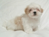 Kyi Leo, 8 weeks, white & gold particolour
