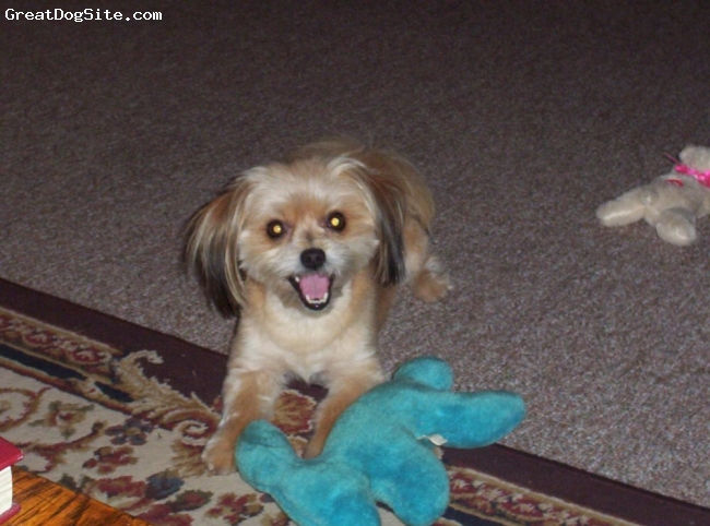 La Pom, 5 years, Sable and white, this picture is Morgan after a trip to the groomer, he's ready for a Florida summer.