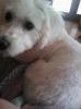 La-Chon, 2 years, White with a few very faint peach spots