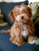 La-Chon, 6 weeks, 8 months, Light Brown