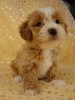 La-Chon, , 8 months, Light Brown