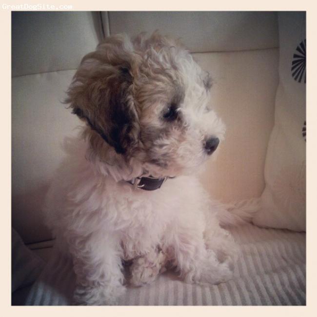La-Chon, 10 weeks, white &  brown, My Beautiful Puppy Teddy