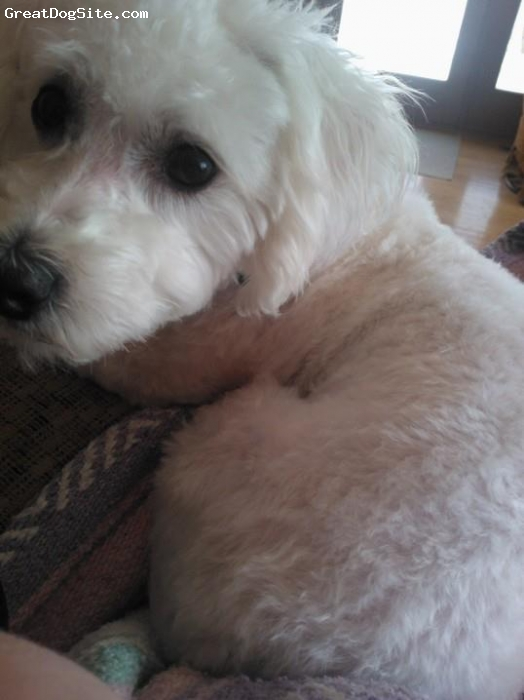 La-Chon, 2 years, White with a few very faint peach spots, when he's shaved he looks like Falcor, the luck dragon!!!