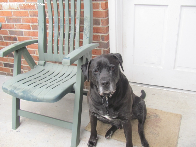 Lab-Pointer, 8, Black, His is a black lab. That loves people and love attention and being inside as well as outside.