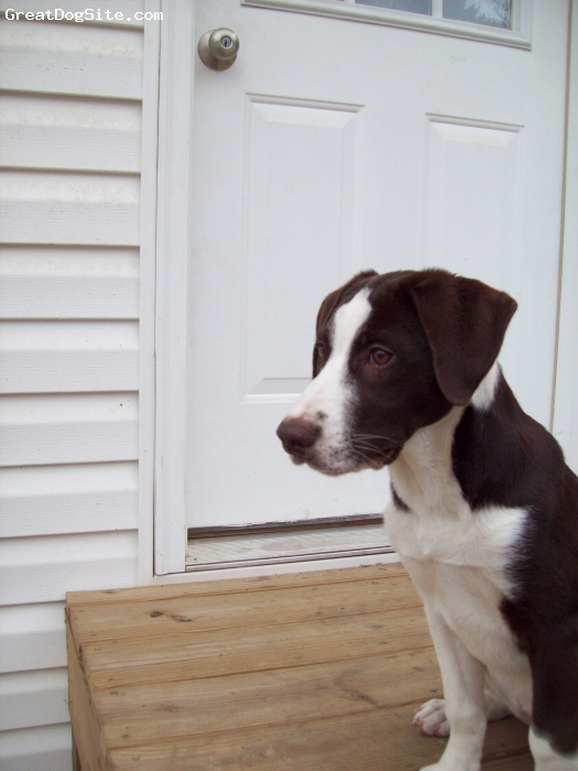 Labany, 2 months, chocolate/white, very loving and smart puppy! I've never had a smarter dog before in my life! also the best with kids! :) easily goes between energetic and calm! definitely my favorite dog breed!