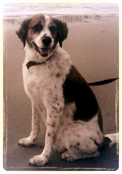 Labany, 8, Brown, white  & black, Cooper is an 8 year lab mix.  His dad was a black lab and mom was an orange and white Brittany Spaniel