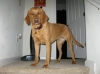 Labloodhound, 2, Golden/Reddish