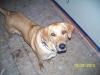 Labloodhound, 2, Rusty