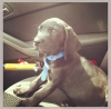Labloodhound, 8 months, Black