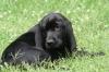 Labloodhound, 4 months, Black