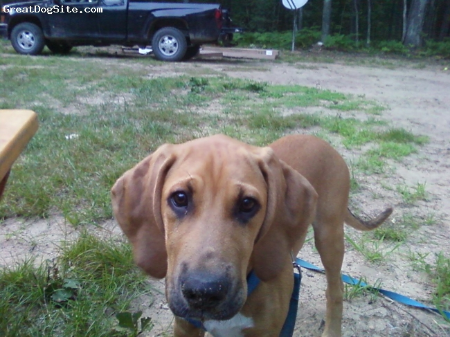 Labloodhound, 10 months, Tan/White, Bright, energetic puppy who loves to walk in the woods and play in the snow. Buries everything in the sand and in the snow. Is close to 100 pounds now and loves to play and chew just like all the description we have read on this breed. Awesome dog!