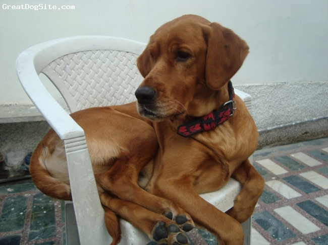 Labloodhound, 3 years, brown, It is my place
