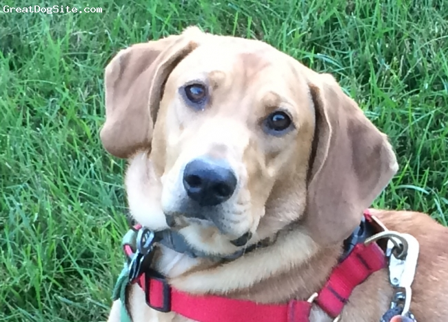 Labloodhound, 18 Months, Red/cream, Copper is a wonderful dog, loving, affectionate, and definitely a chewer!  he fits most of the breed description.  We adopted him from a shelter in WV. I could not think of a better dog for our or any active family.