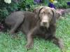 Labmaraner, 8 Months, Brown