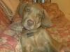 Labmaraner, 3 months, tan-grey