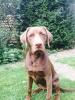 Labmaraner, 6 months, Brown