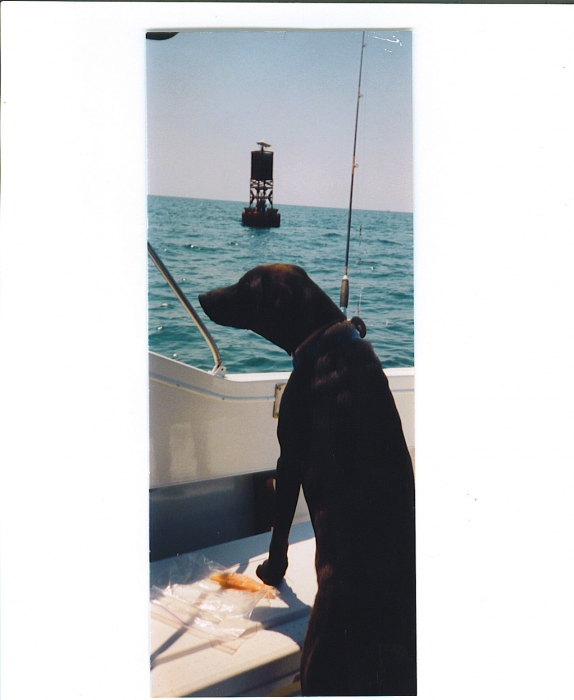 Labmaraner, 8 yrs old, dark liver, Loyal , faithful friend, calm, obedient, likes water but doesn't have to get in every puddle.  Would spend hours with us on the boat, but he had to lick every fish that came aboard. Good health all his life, got him as a 6wk old pup and had to put him down 3 months shy of his 15th birthday.  We are currently looking for a new lifetime companion.