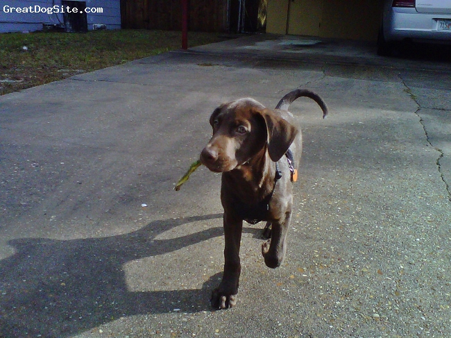 Labmaraner, 11 weeks 5 days, Chocolate, Such a loveable playful puppy, loves new toys. Keep him busy or he will chew anything in sight. I have not had this problem although, i trip on toys every step i take throughout my home. (Hint Hint) He is going to be a very big boy! He weighs 21 pounds today! He usually never barks. He learned his name the second day i had him and is already potty trained. The last time he has had an accident was over 2 weeks ago. LOVE LOVE LOVE this dog! By far my favorite breed, this is my first Labmaraner!